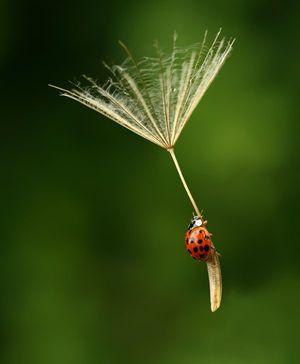 Surrender_ladybug