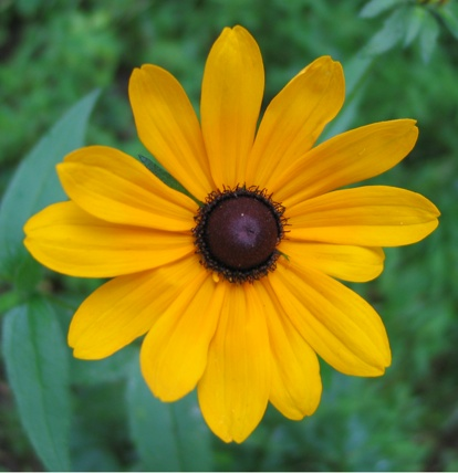 The Essence of Black-eyed Susan ~ learn more here.